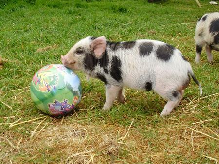 Little pig plays football