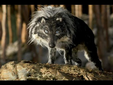 Wolf emerging - Peter and the Wolf