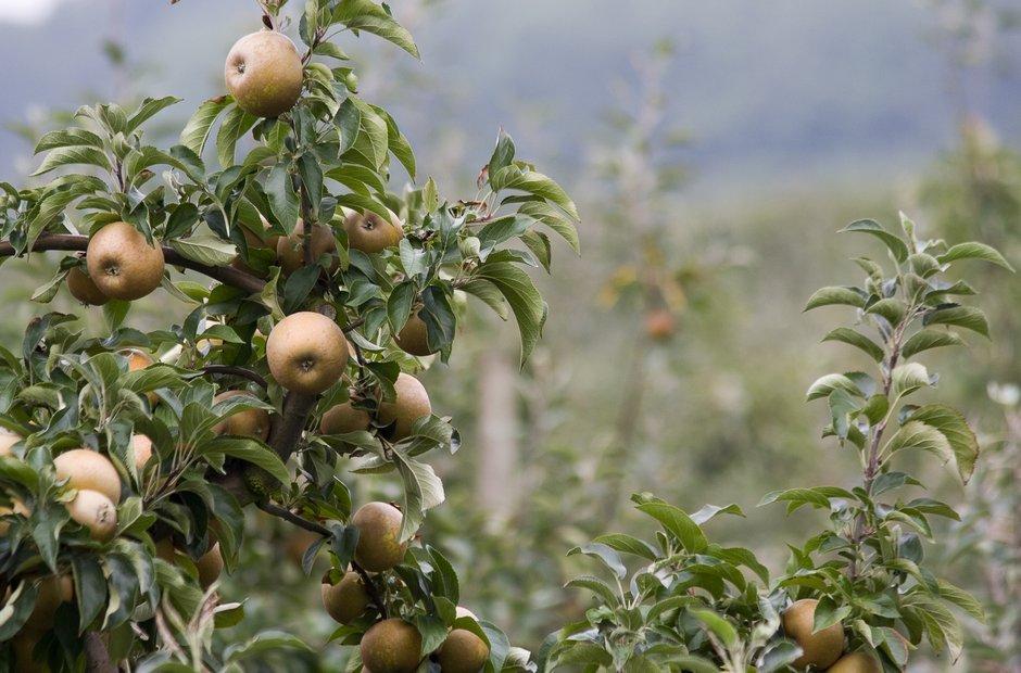 apple orchard England