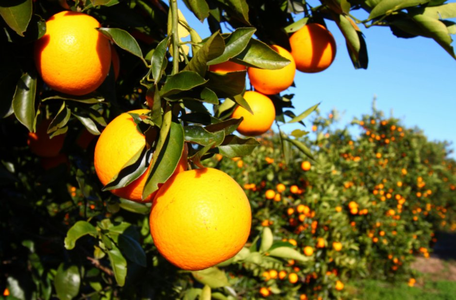 Florida oranges Koanga Calinda