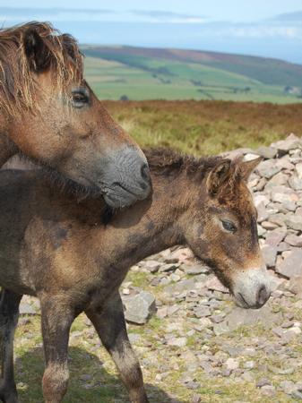Dartmoor Foal