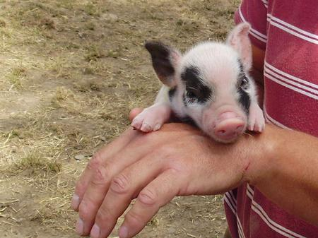 Micro Pigs - the latest pet craze