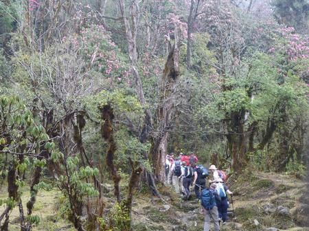Walking through the Rhododendron Forests