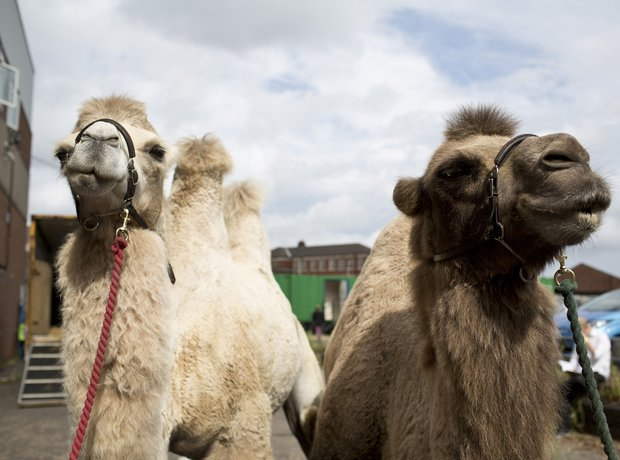Stockhausen camels