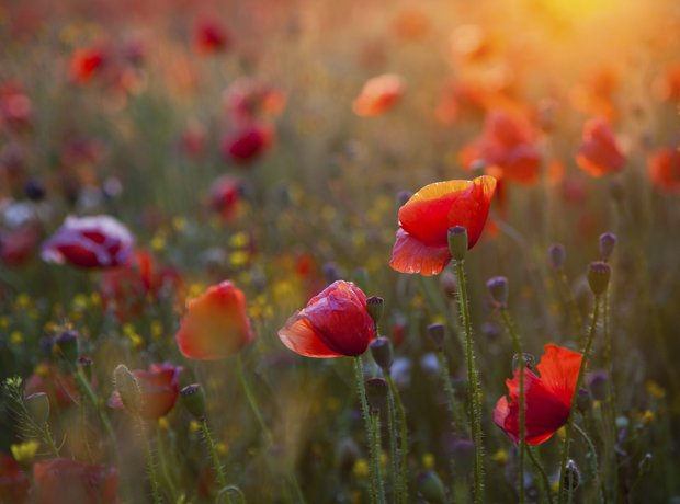 poppy field World War I