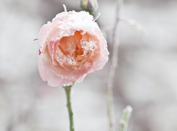 pink rose in winter snow