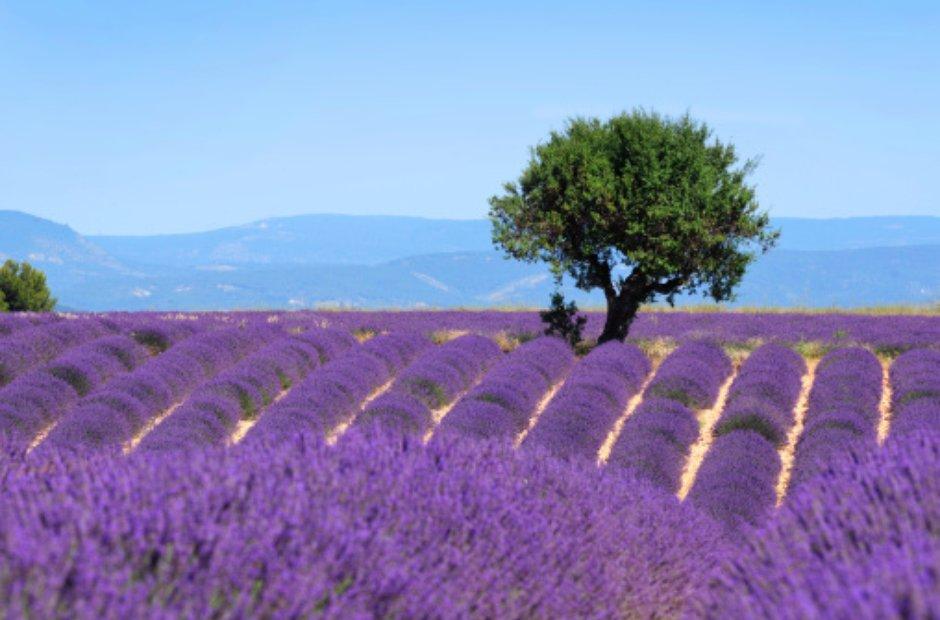 lavender Provence France