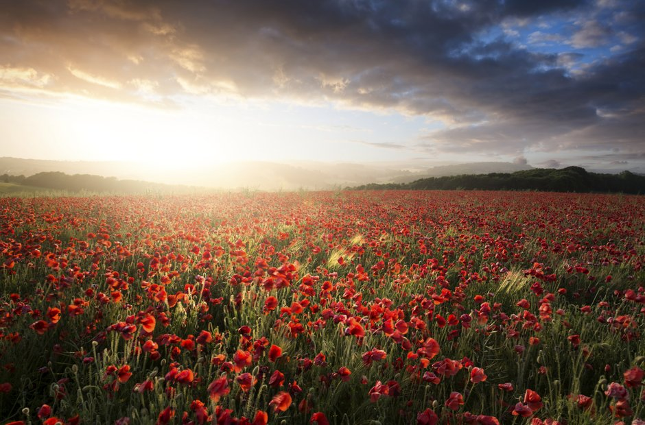 poppy field sunset somerset