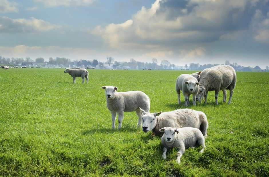 green pasture sheep clouds