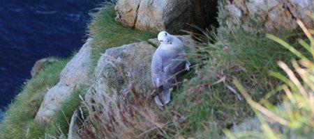 Fulmar St Kilda