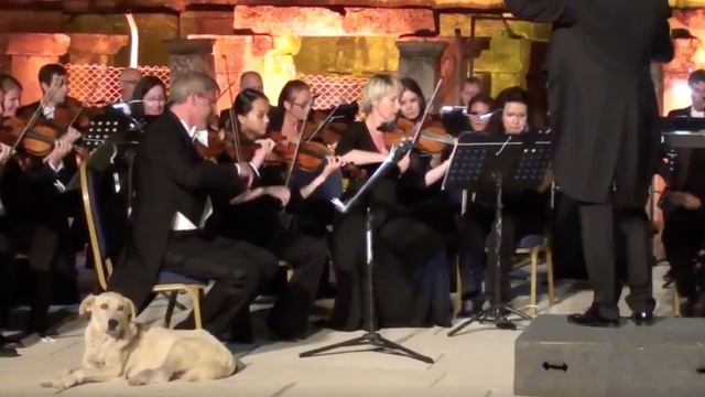 Curious and loving dog almost ruins a live orchestra concert