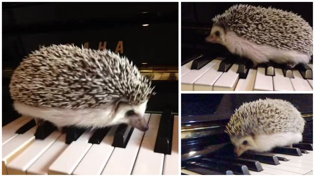 This hedgehog composed a beautiful piece of contemporary classical music
